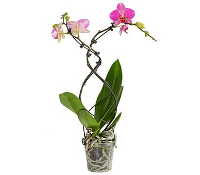Schmetterlingsorchidee 'Twister'