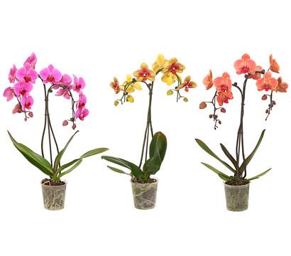 Schmetterlingsorchidee 'Umbrella', verschiedene Sorten