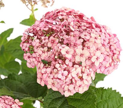 Schneeball-Hortensie 'Sweet Annabelle'