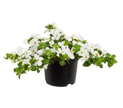 Schneeflockenblume, weiß