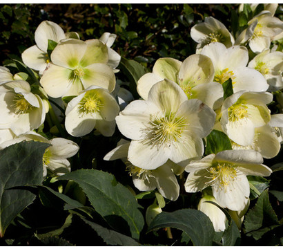 Schneerose 'Ice Breaker® Max' - Helleborus Gold Collection®
