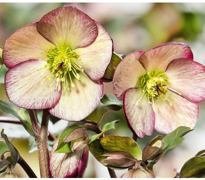 Schneerose 'Ice N' Roses® Dark Picotee' - Helleborus Gold Collection®