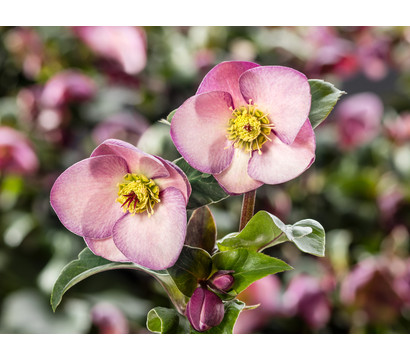 Schneerose 'Ice 'n' Roses® Early Rose' - Helleborus Gold Collection®