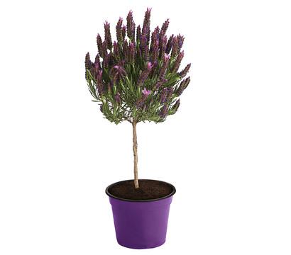 Schopf-Lavendel, Stämmchen