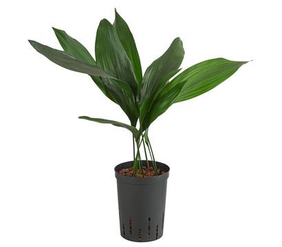 Schusterpalme, Hydrokultur