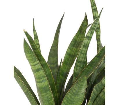 Schwiegermutterzunge 39 green line 39 dehner garten center for Green pflanzen