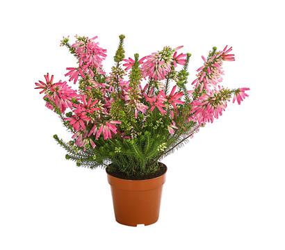Südafrikanisches Heidekraut - Erica verticillata