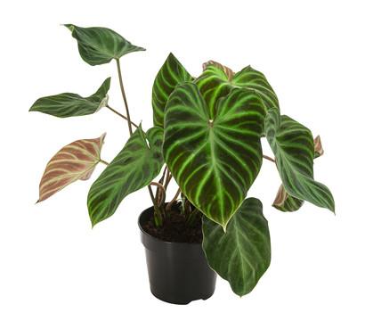Seltener Baumfreund - Philodendron Verrucosum
