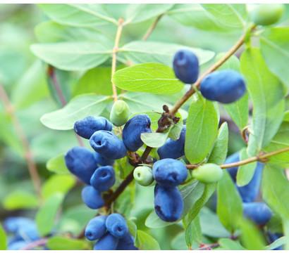 Sibirische Blaubeere'MyBerry® Sweet'