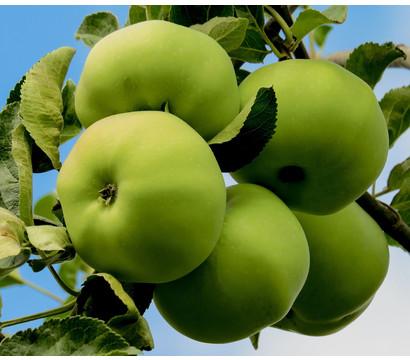 Sommerapfel 'Klarapfel', weiß