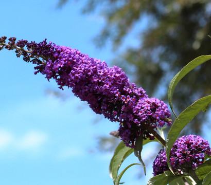 Sommerflieder - Schmetterlingsstrauch, blau