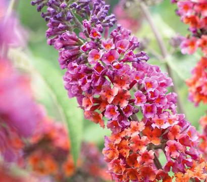 Sommerflieder 'Flower Power'