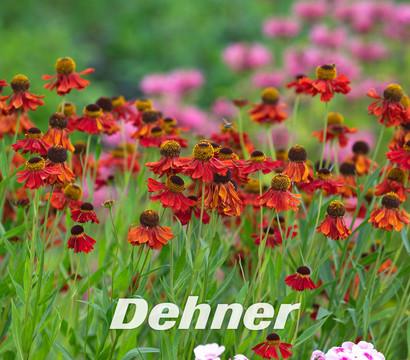 sonnenbraut 39 moerheim beauty 39 dehner garten center. Black Bedroom Furniture Sets. Home Design Ideas
