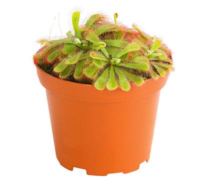Sonnentau dehner garten center for Fruchtfliegen pflanzen