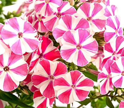 Stauden-Phlox - Flammenblume, in rosa Sorten