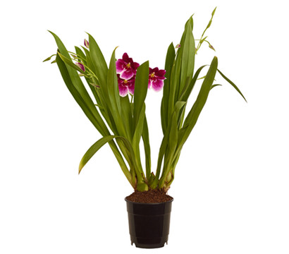 Stiefmütterchenorchidee - Miltonia, 3/4-Trieber