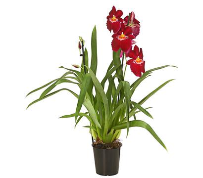 Stiefmütterchenorchidee - Miltonia