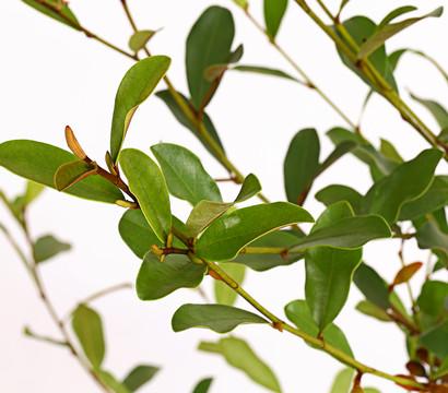 strauch magnolie 39 summer snowflake 39 dehner garten center. Black Bedroom Furniture Sets. Home Design Ideas