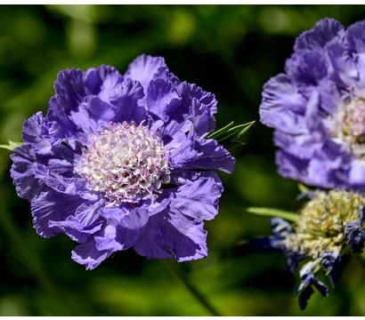 Tauben-Skabiose - Tauben-Grindkraut 'Butterfly Blue'