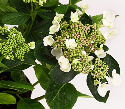 Teller-Hortensie - Garten-Hortensie