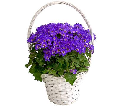 Teneriffa-Stern - Aschenblume, im Henkelkorb