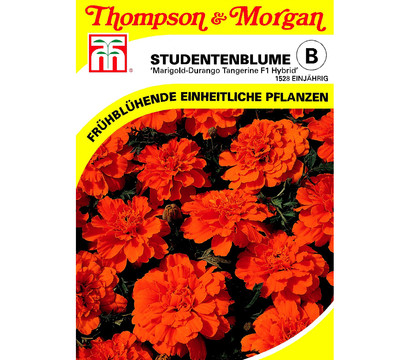 thompson morgan samen studentenblume 39 marigold durango. Black Bedroom Furniture Sets. Home Design Ideas