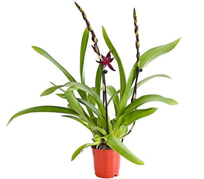 Tigerorchidee 'Massai'