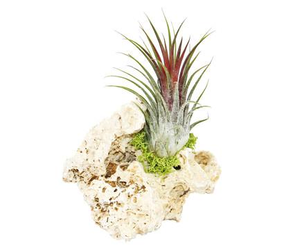Tillandsien-Arrangement, 1 Pflanze auf Stein