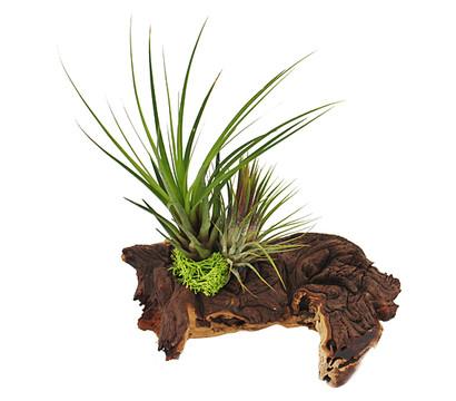 Tillandsien-Arrangement, 2 Pflanzen auf Mopaniwurzel