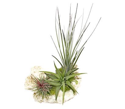 Tillandsien-Arrangement, 3 Pflanzen + Sansibar Rock