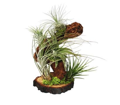 Tillandsien-Arrangement auf Wurzelbaum, 5 Pflanzen