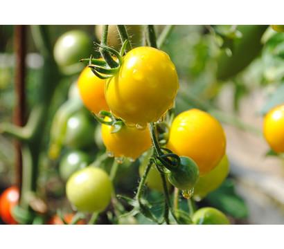 Tomate rundfruchtig, gelb
