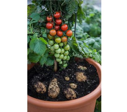 TomTato® Tomatenkartoffel