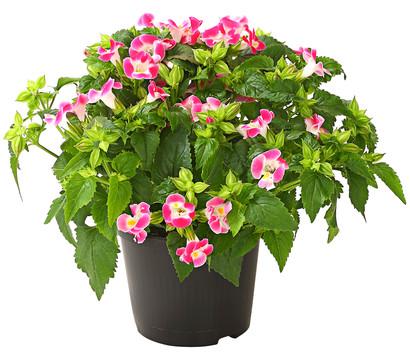 Torenie dehner garten center for Halbschattige balkonpflanzen