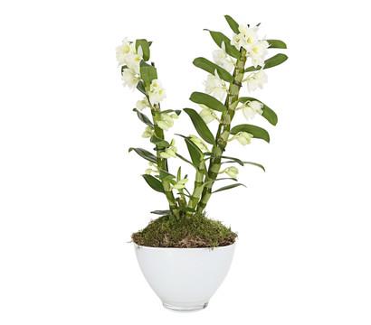 traubenorchidee mit glas bertopf dehner garten center. Black Bedroom Furniture Sets. Home Design Ideas