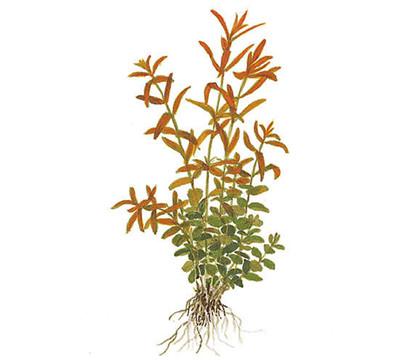 Tropica Rotala rotundifolia, Aquarium Pflanze