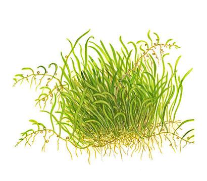 Tropica Utricularia graminifolia, Aquarium Pflanze