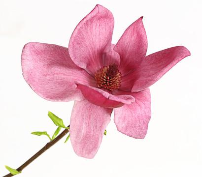 tulpen magnolie 39 genie 39 dehner garten center. Black Bedroom Furniture Sets. Home Design Ideas