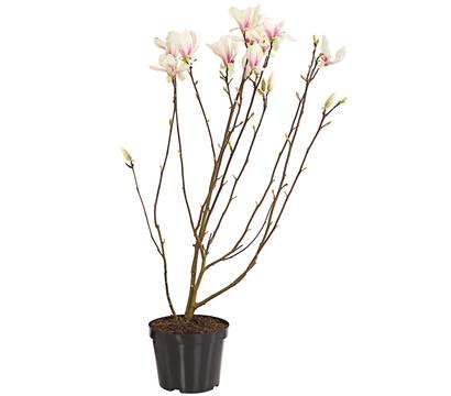 Tulpen-Magnolie 'Superba'