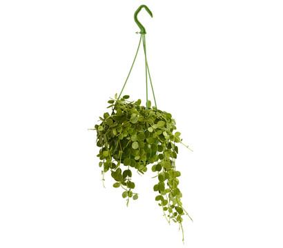 Urnenpflanze - Dischidie