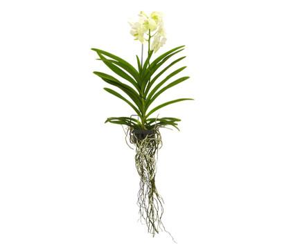 Vanda kleinbl tig im korb dehner garten center - Epiphyten zimmerpflanze ...