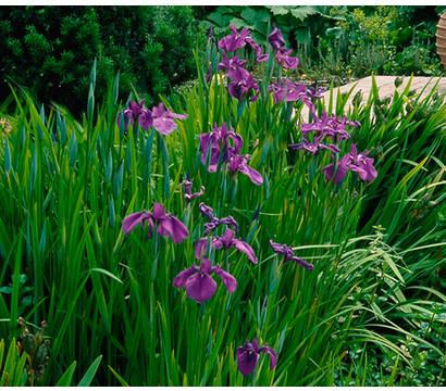 Wasserschwertlilie - Japanische Sumpf-Schwertlilie