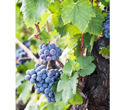 Weinrebenstamm