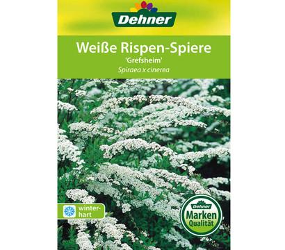 Weiße Rispenspiere \'Grefsheim\' : Dehner Garten Center