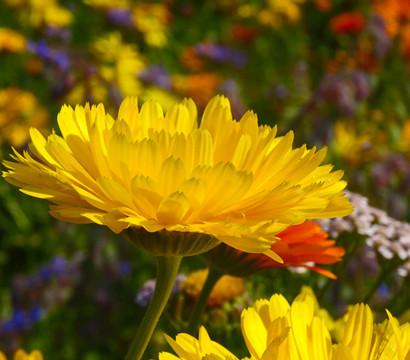Winterharte Ringelblume 'Winter Wonders® Golden Glaze'