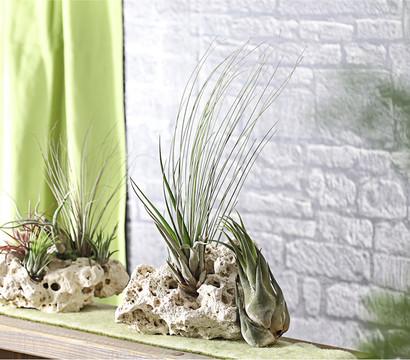 xxl tillandsien 3er set dehner garten center. Black Bedroom Furniture Sets. Home Design Ideas