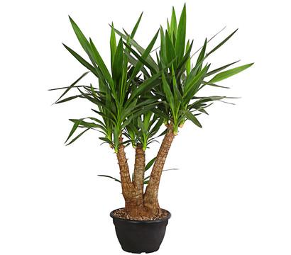 yucca palme verzweigt dehner garten center. Black Bedroom Furniture Sets. Home Design Ideas