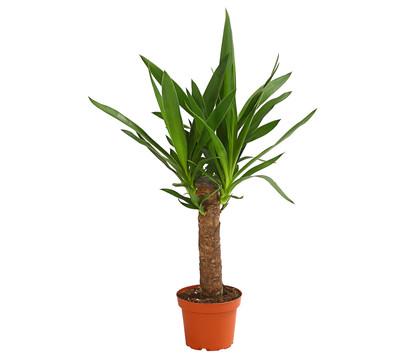 yucca palme yucca palme palme related keywords. Black Bedroom Furniture Sets. Home Design Ideas