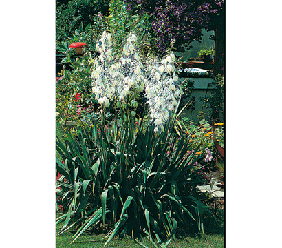 yucca palmlilie dehner garten center. Black Bedroom Furniture Sets. Home Design Ideas
