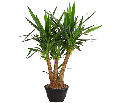 Yucca-Palme, verzweigt